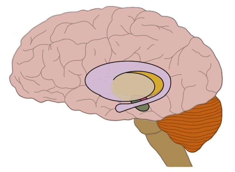huntington's disease causes significant neurodegeneration in the basal ganglia (highlighted structures here in the middle of the brain).