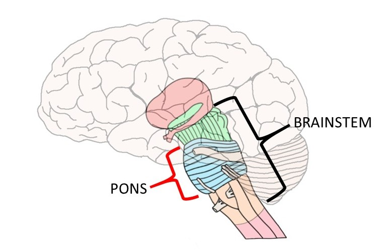 """2-Minute Neuroscience<a href=""""/blog/2-minute-neuroscience-pons"""">→</a><strong>Pons</strong>"""