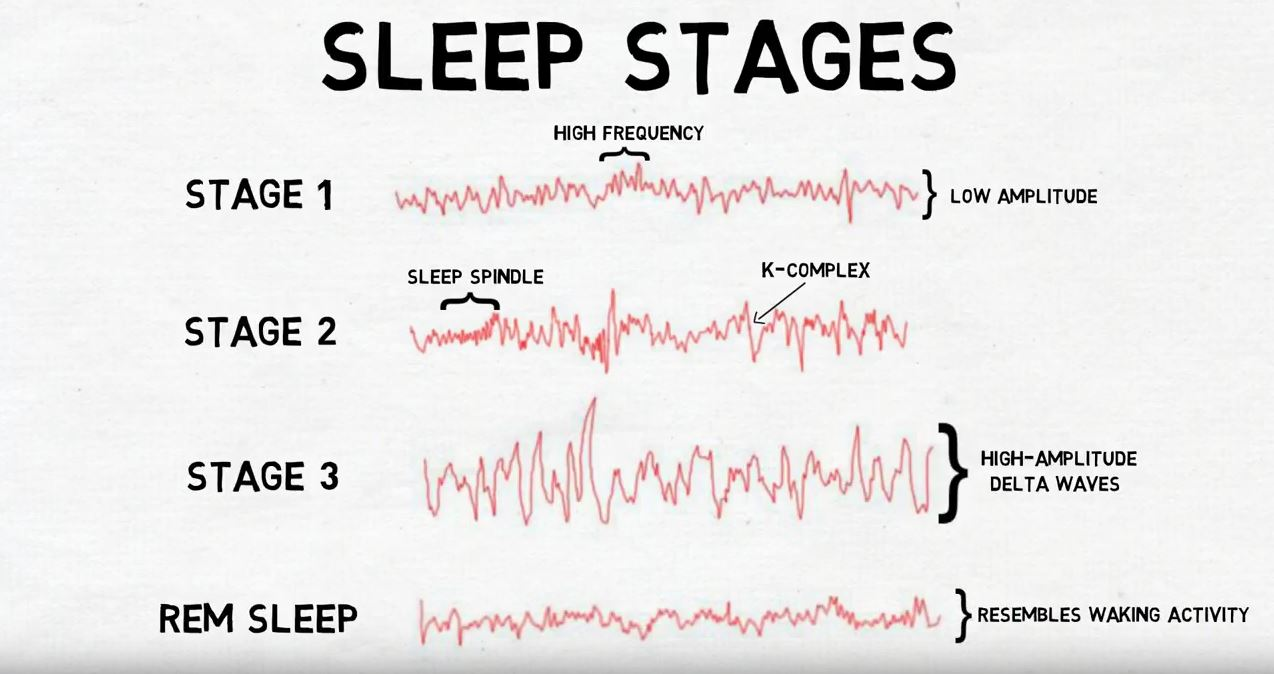 """2-Minute Neuroscience<a href=""""/blog/2-minute-neuroscience-stages-of-sleep"""">→</a><strong>Stages of Sleep</strong>"""