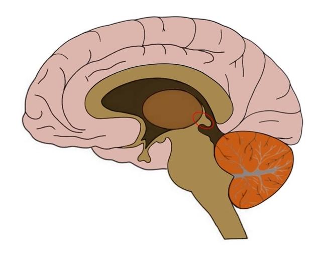 Epithalamus circled in red.