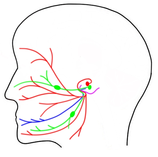 "2-Minute Neuroscience<a href=""/blog/2-minute-neuroscience-facial-nerve-cranial-nerve-vii"">→</a><strong>Facial Nerve</strong>"