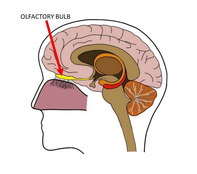 olfactory bulb
