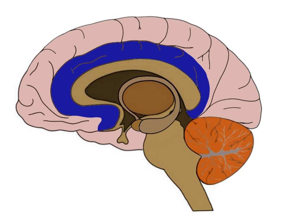 The limbic lobe (blue).