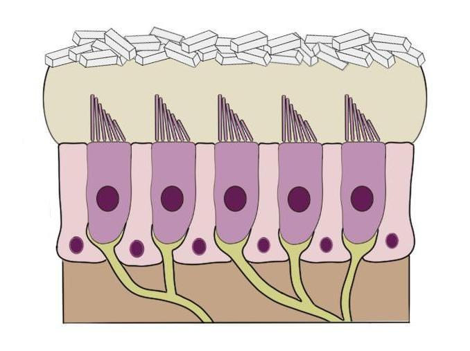 """GENERAL STRUCTURE OF THE PART OF THE saccule that DETECTS HEAD MOVEMENTS. THE CALCIUM CARBONATE CRYSTALS AT THE TOP OF THE STRUCTURE ARE CALLED """"OTOCONIA."""" WHEN THESE SHIFT IN RESPONSE TO MOVEMENT, IT LEADS TO THE DISPLACEMENT AND ACTIVATION OF HAIR CELLS BELOW."""