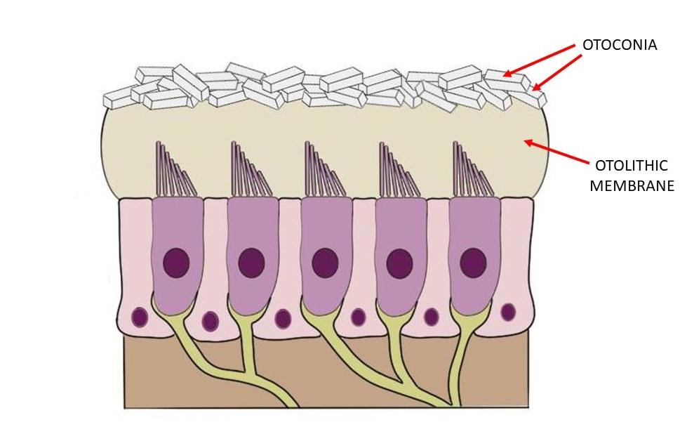 Otolith membrane