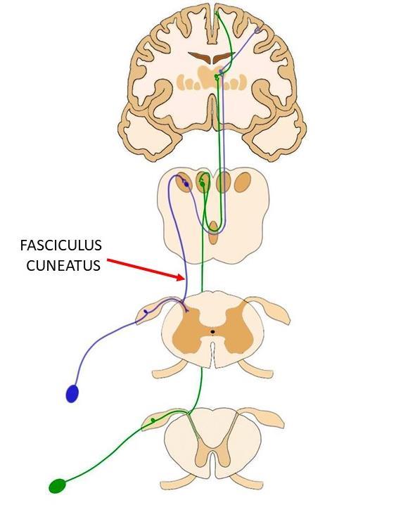 Fasciculus cuneatus