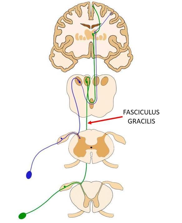 Fasciculus gracilis