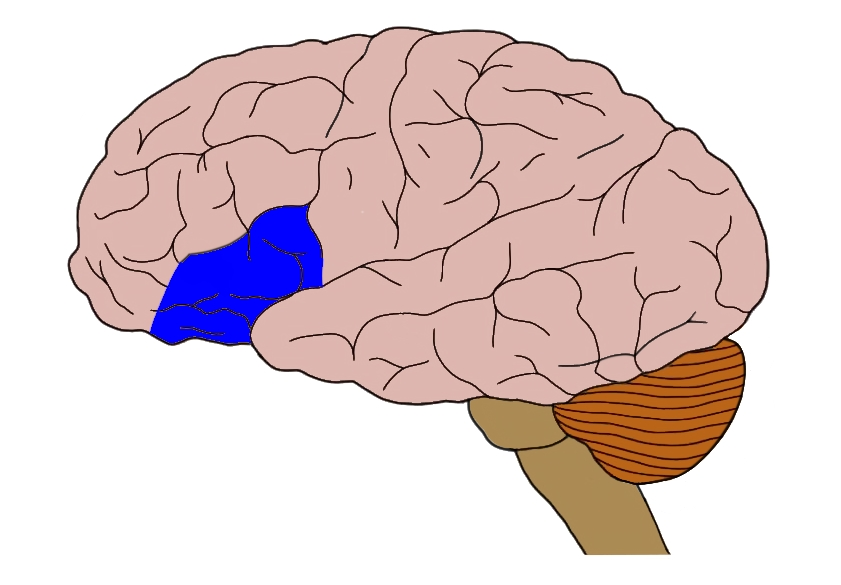 Inferior frontal gyrus (in blue).