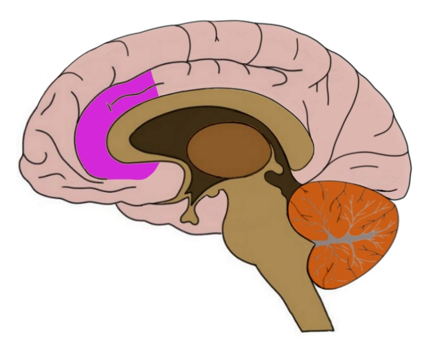 Anterior cingulate cortex (ACC) in purple.