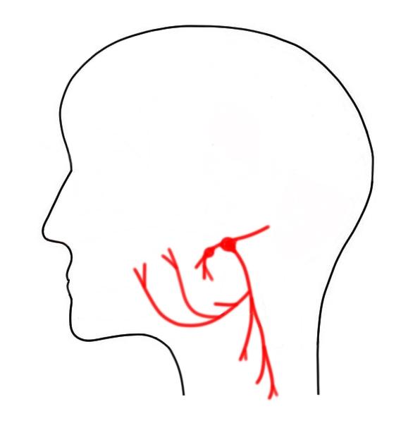 "2-Minute Neuroscience<a href=""/blog/2-minute-neuroscience-glossopharyngeal-nerve-cranial-nerve-ix"">→</a><strong>Glossopharyngeal Nerve</strong>"