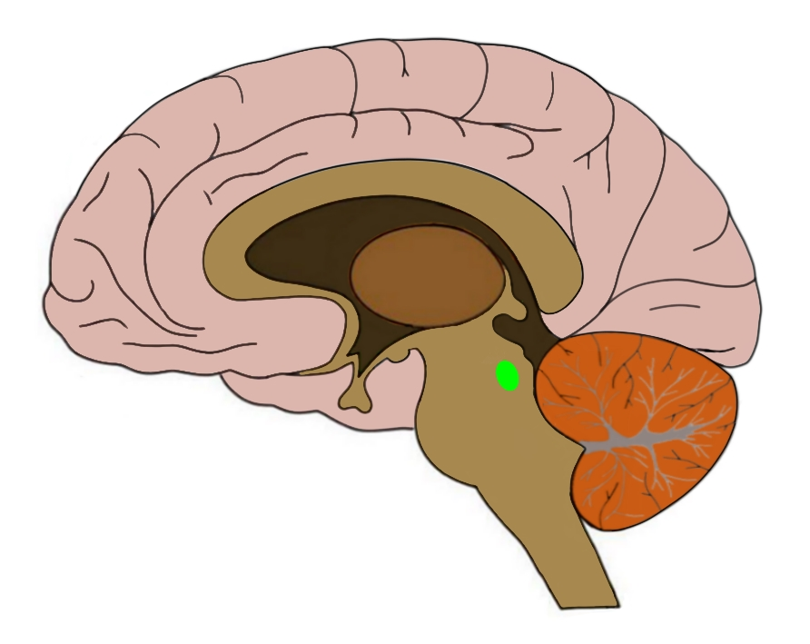 The general region of the pedunculopontine nucleus is highlighted in green above.