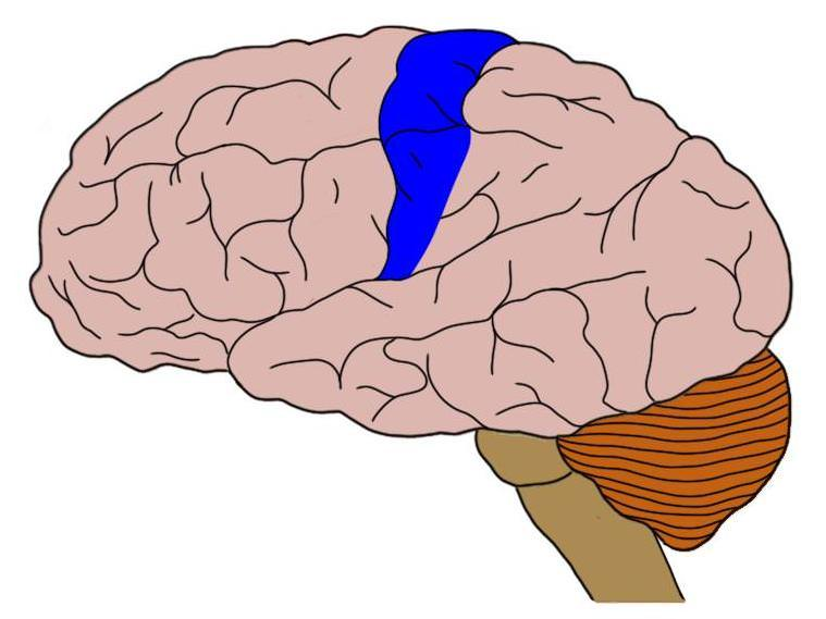 The postcentral gyrus is highlighted in blue.