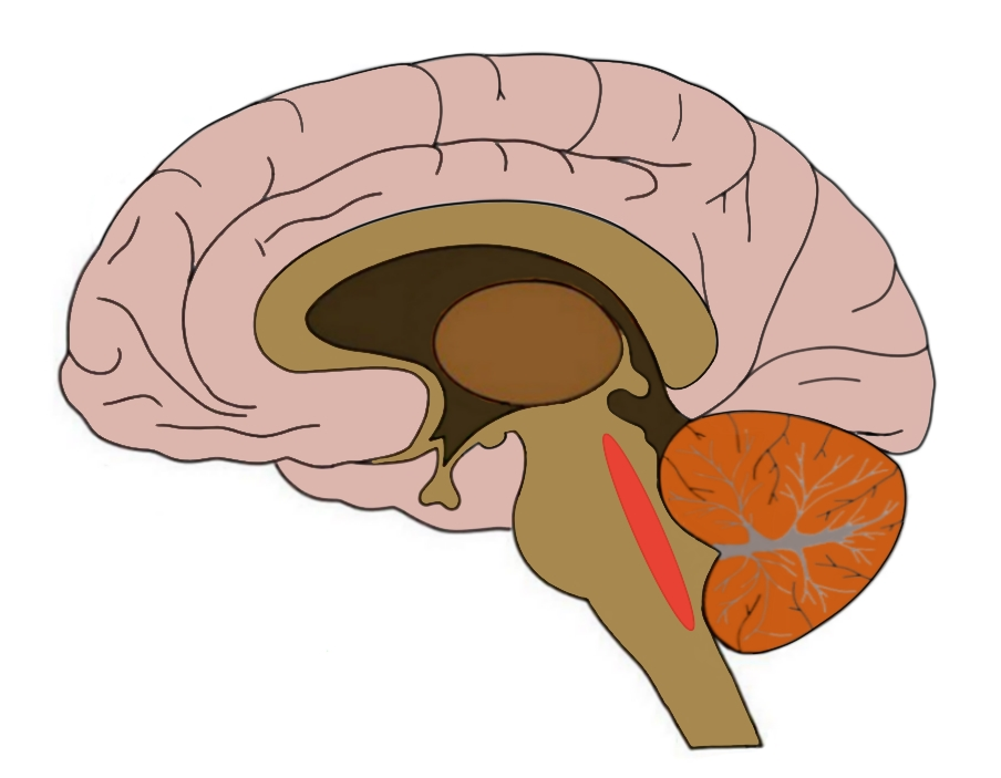 The general region of the reticular activating system is highlighted in red.