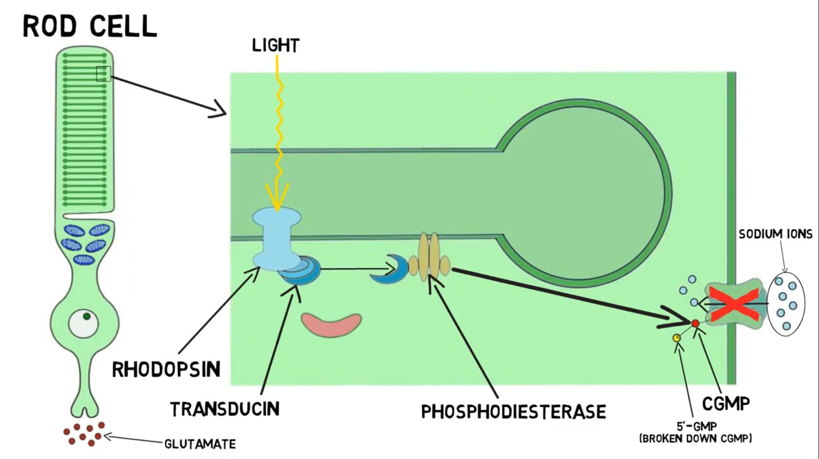 """2-Minute Neuroscience<a href=""""/blog/2-minute-neuroscience-phototransduction"""">→</a><strong>Phototransduction</strong>"""