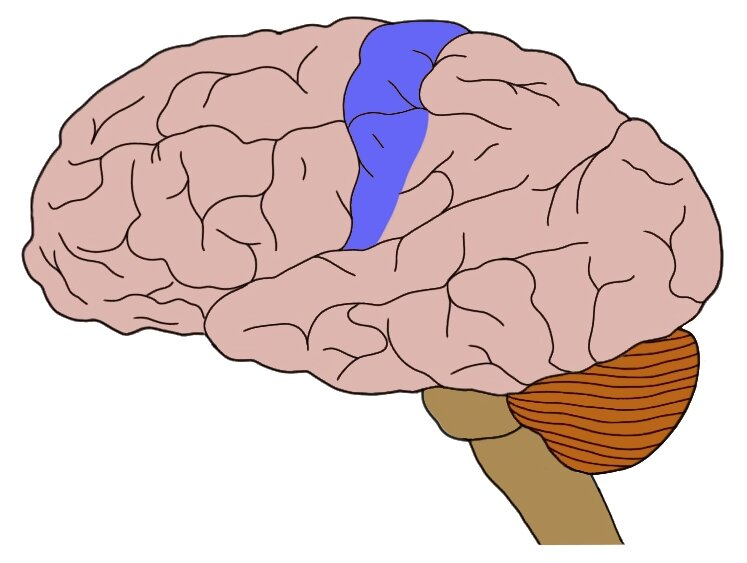 The primary somatosensory cortex (in blue).
