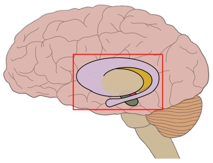 the basal ganglia (within red square). Note that the basal ganglia are not actually seen on the surface of the brain.
