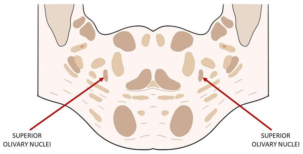Superior olivary nuclei indicated in a cross-section of the brainstem AT THE LEVEL OF THE PONS
