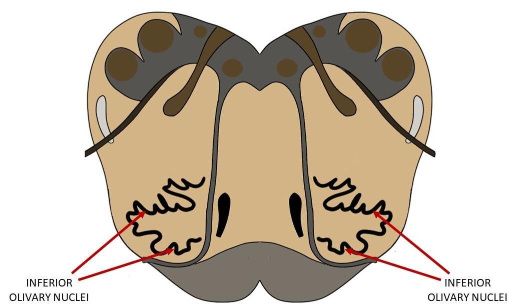 在下橄榄核显示在脑干横切面的髓质水平