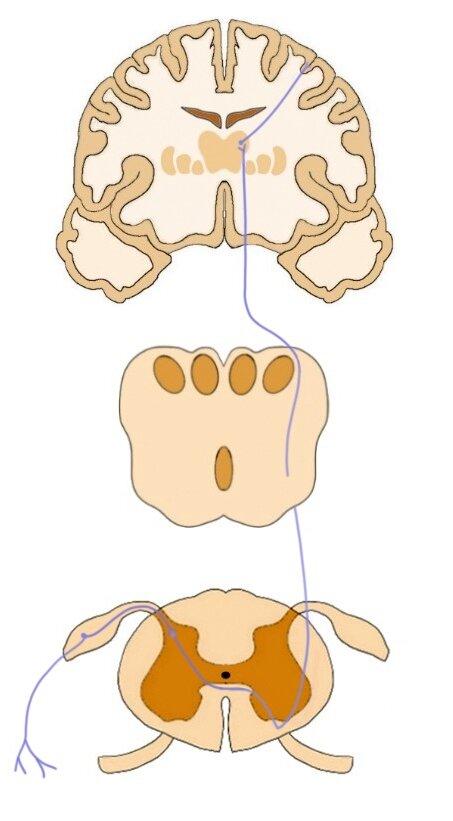 前脊髓丘脑束的通路。