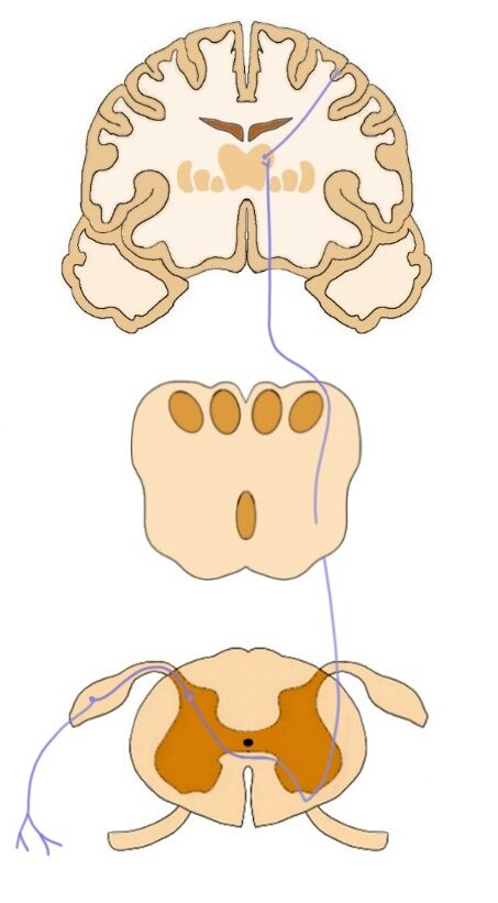 the pathway of the anterior spinothalamic tract.