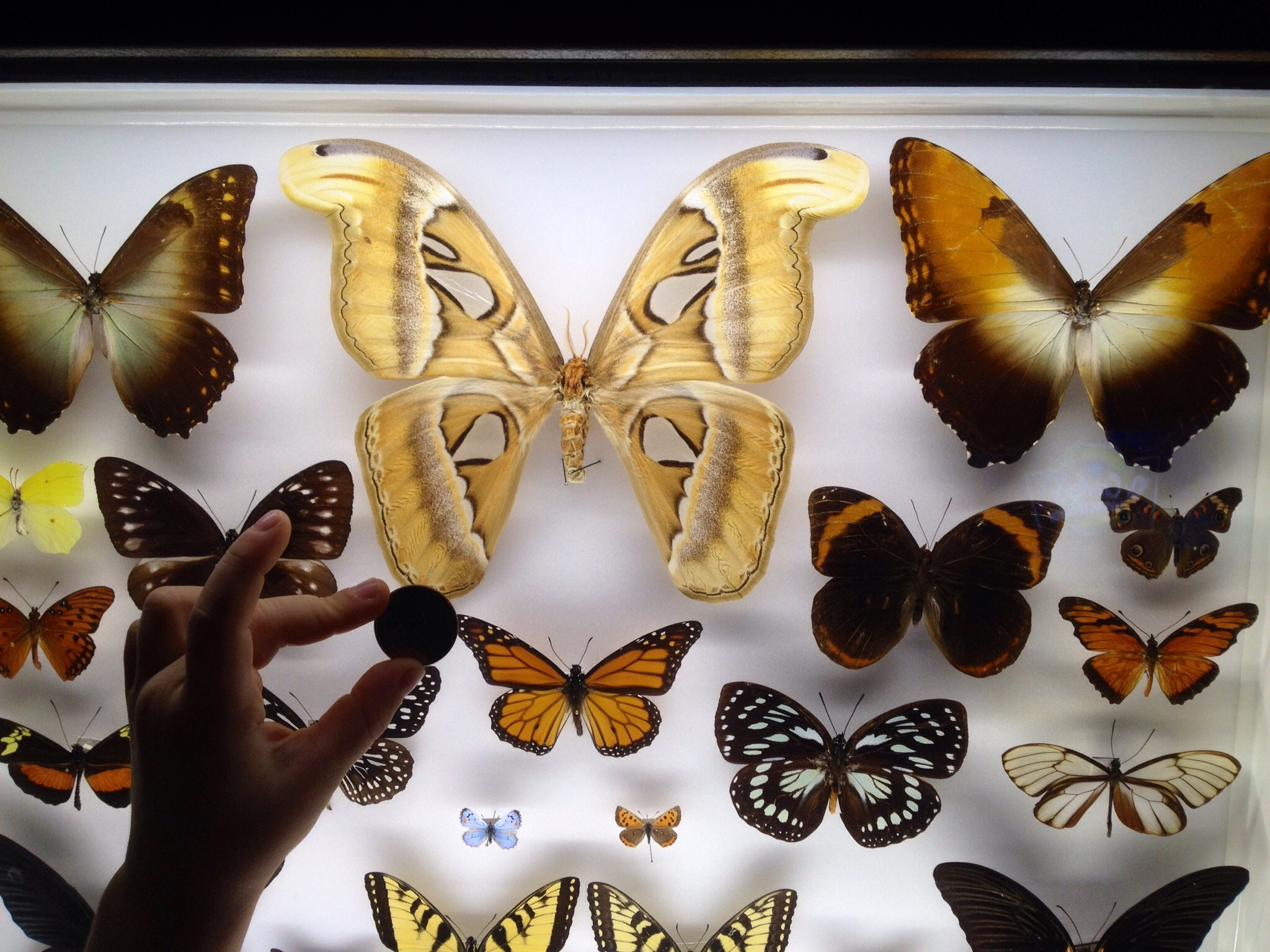 Ridiculously large butterfly like the ones in PNG.