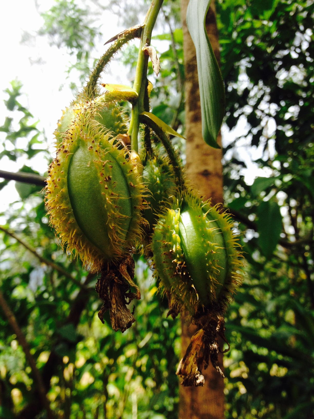 These pods grow off the sides of some orchids and are filled with pollen.