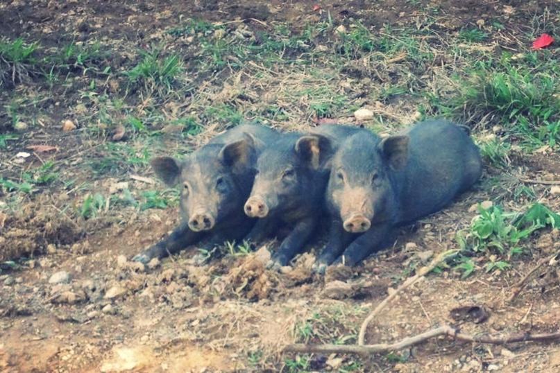 The three little pigs!