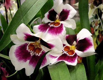 Orchids by Laurie Pace