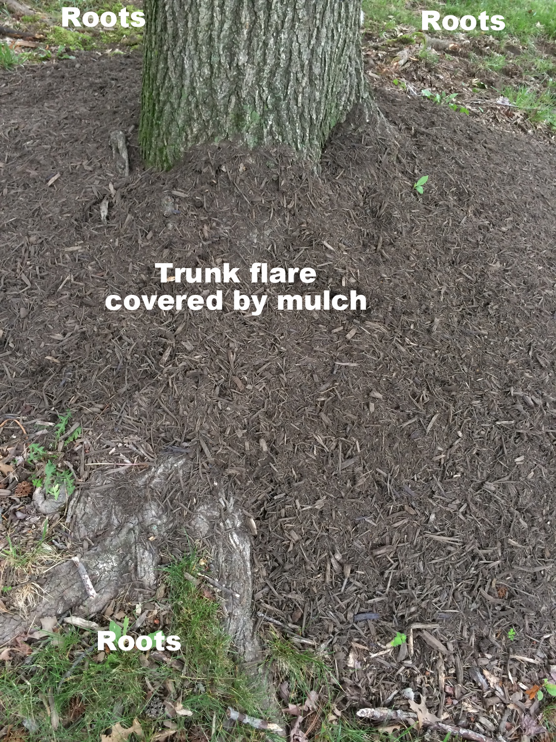 A swath of mulch was piled over a visible buttress of the trunk flare.