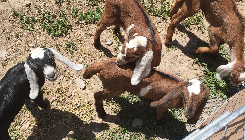 goat-header