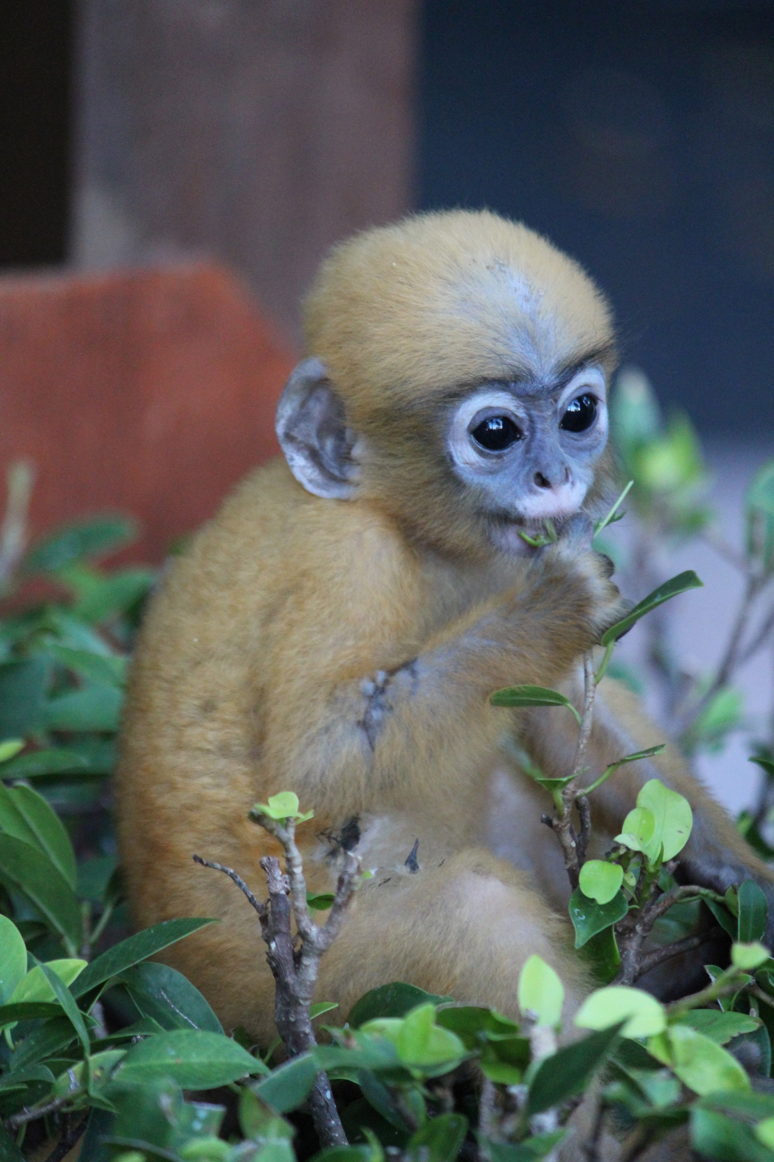 Come for the beach, stay to gawk at leaf monkey babies