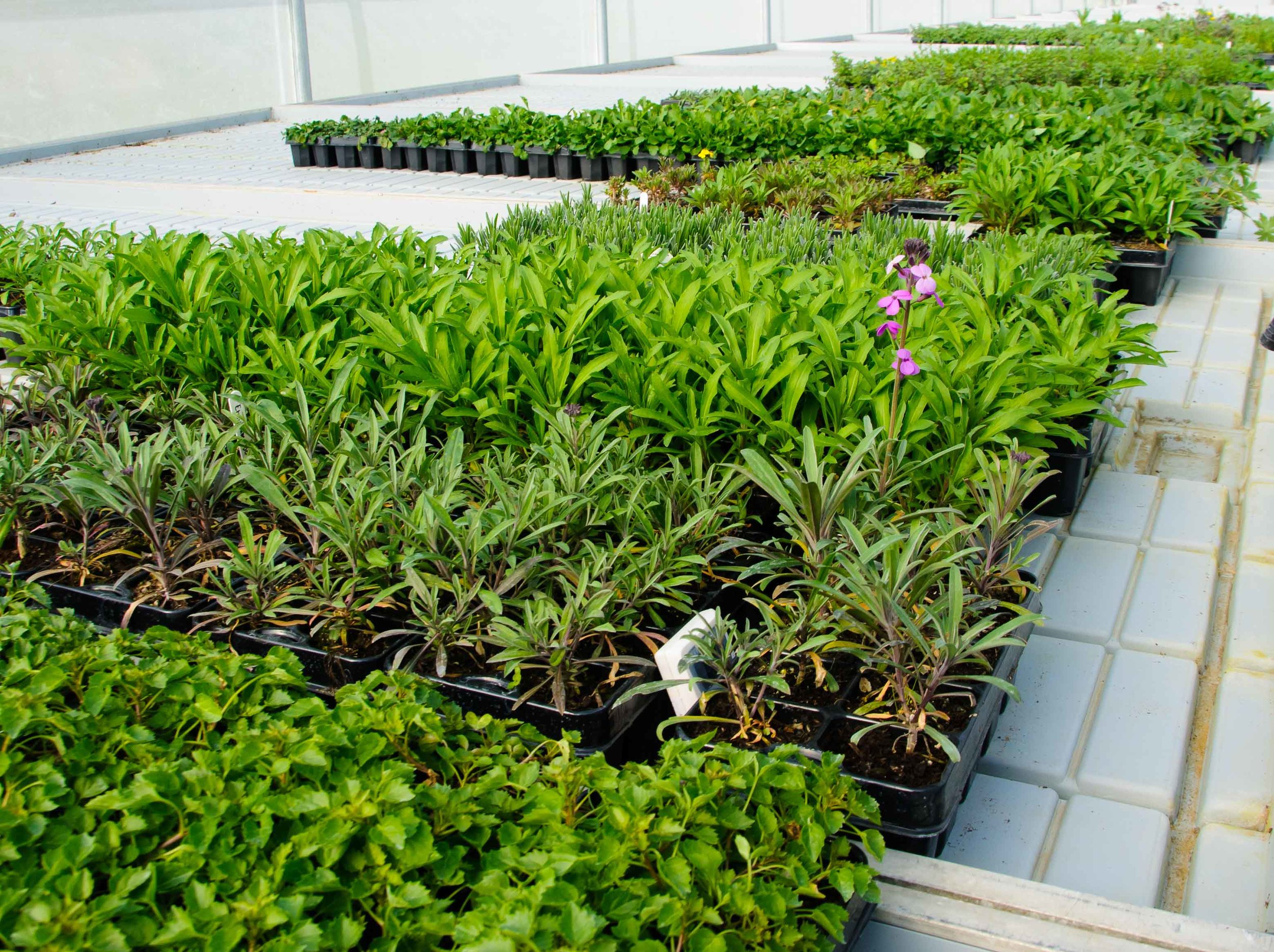 Our plants in the polytunnel ready to send out