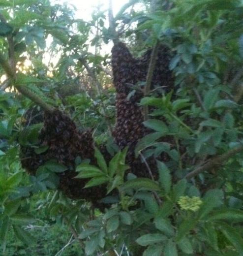 Swarm found in elder in April