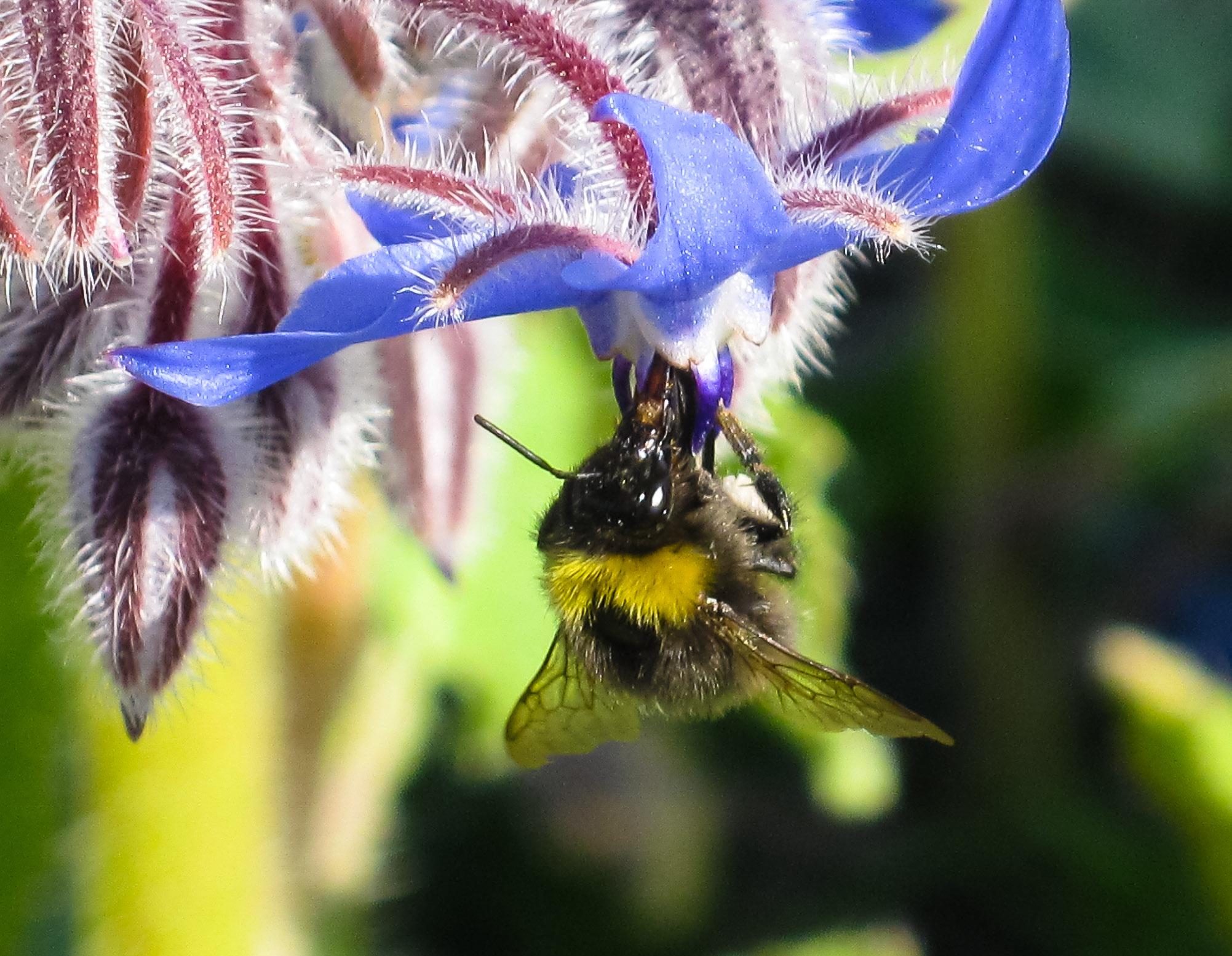 Early bumblebee on borage