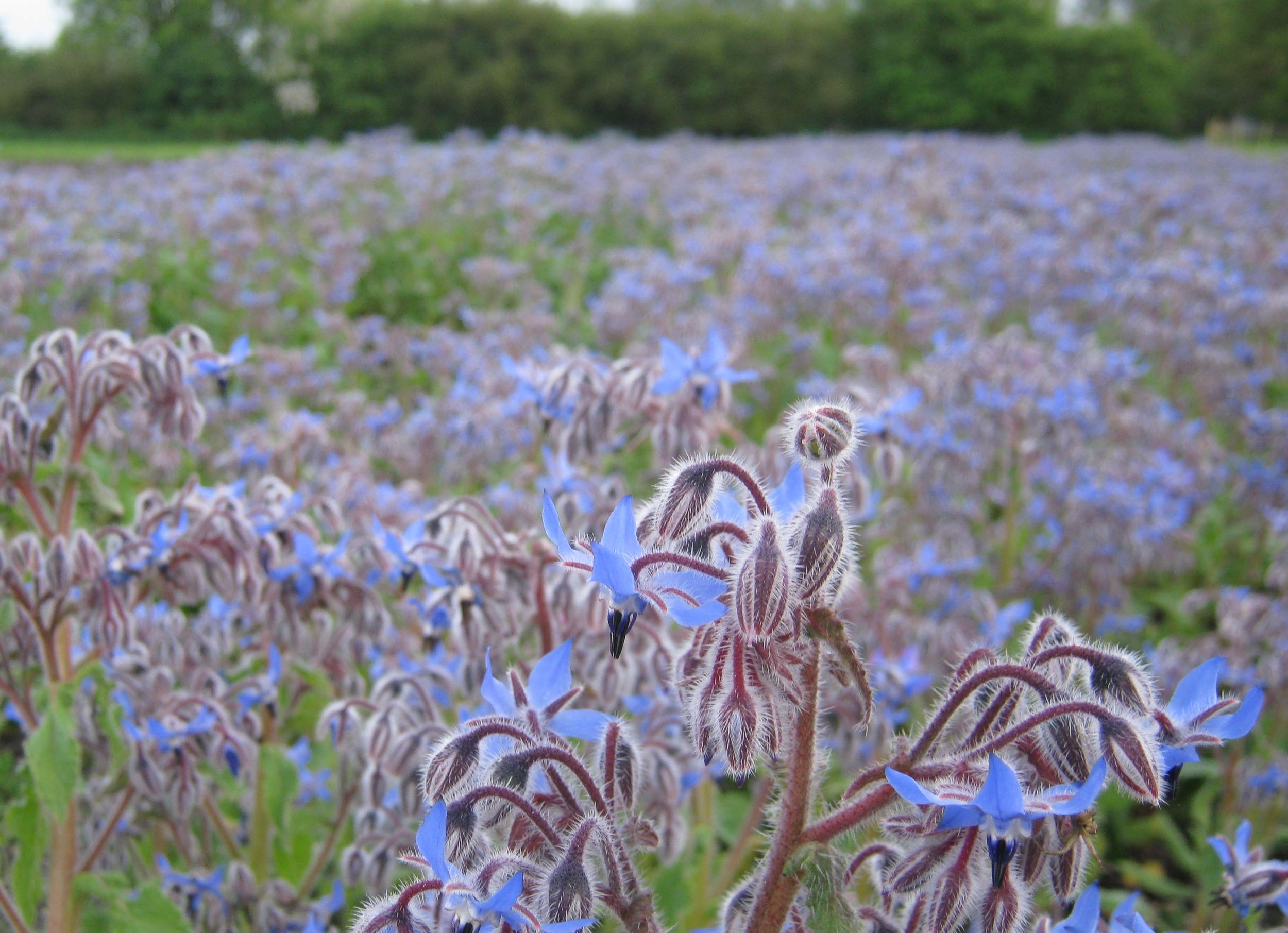 our borage patch