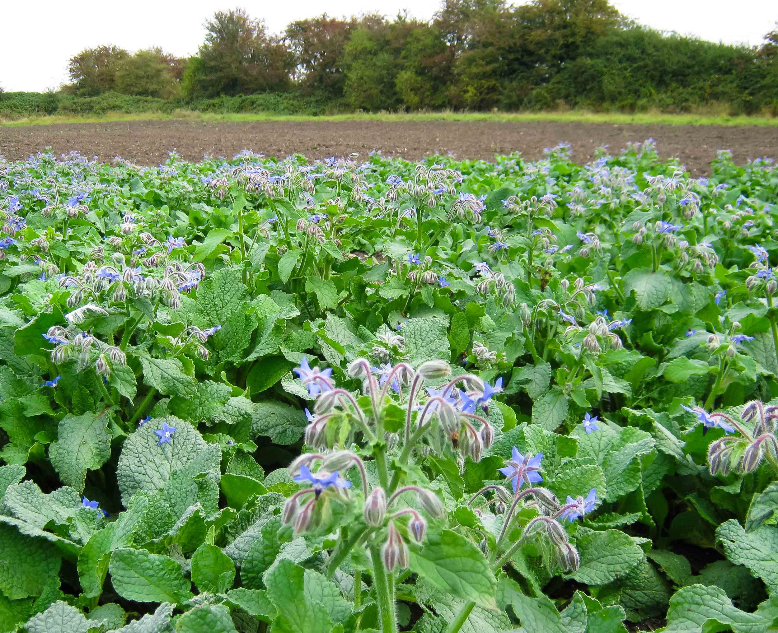 our last borage crop of the season flowering well in September