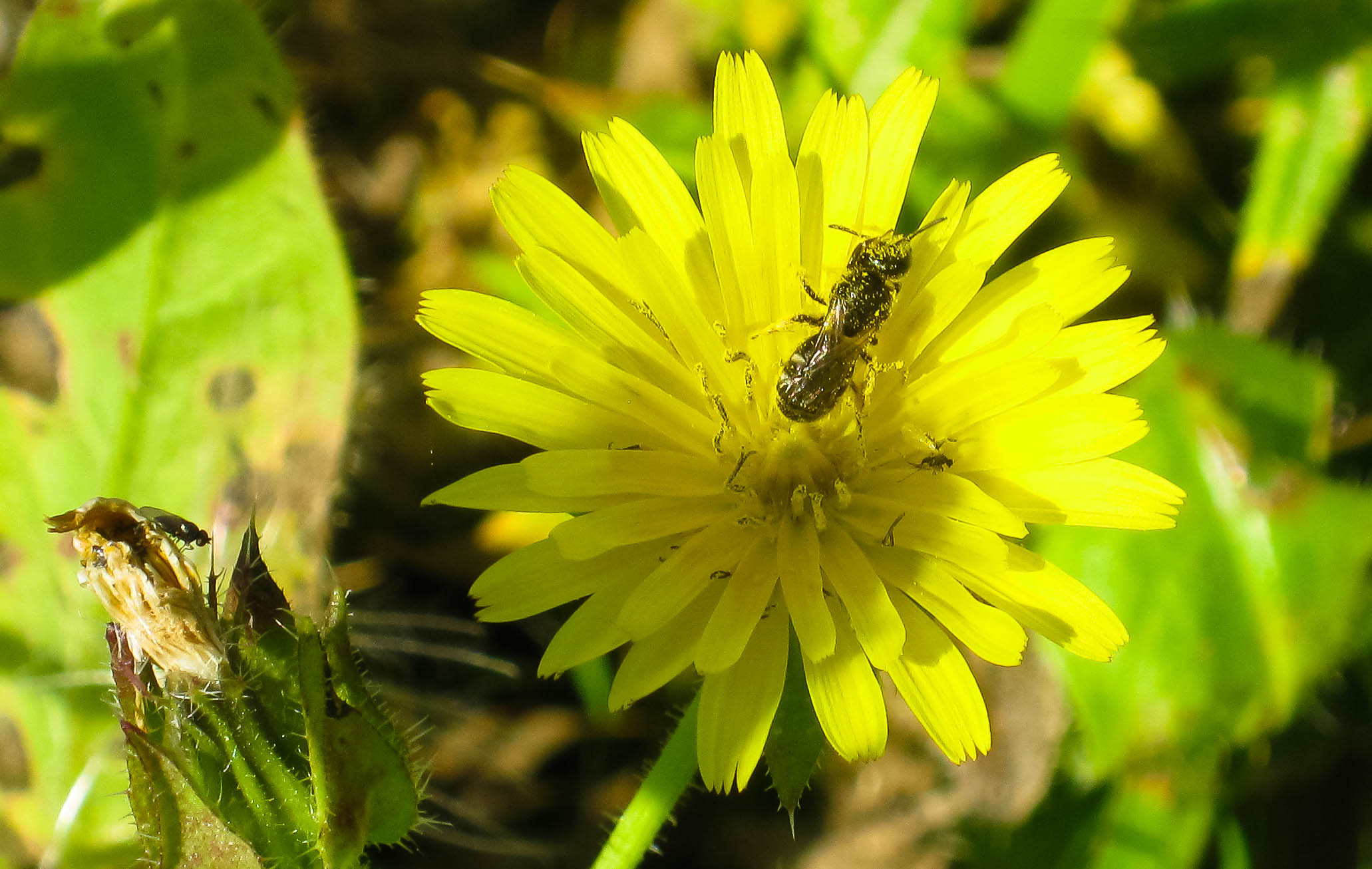 Small solitary bee - probably a lasioglossum - on bristly ox-tongue