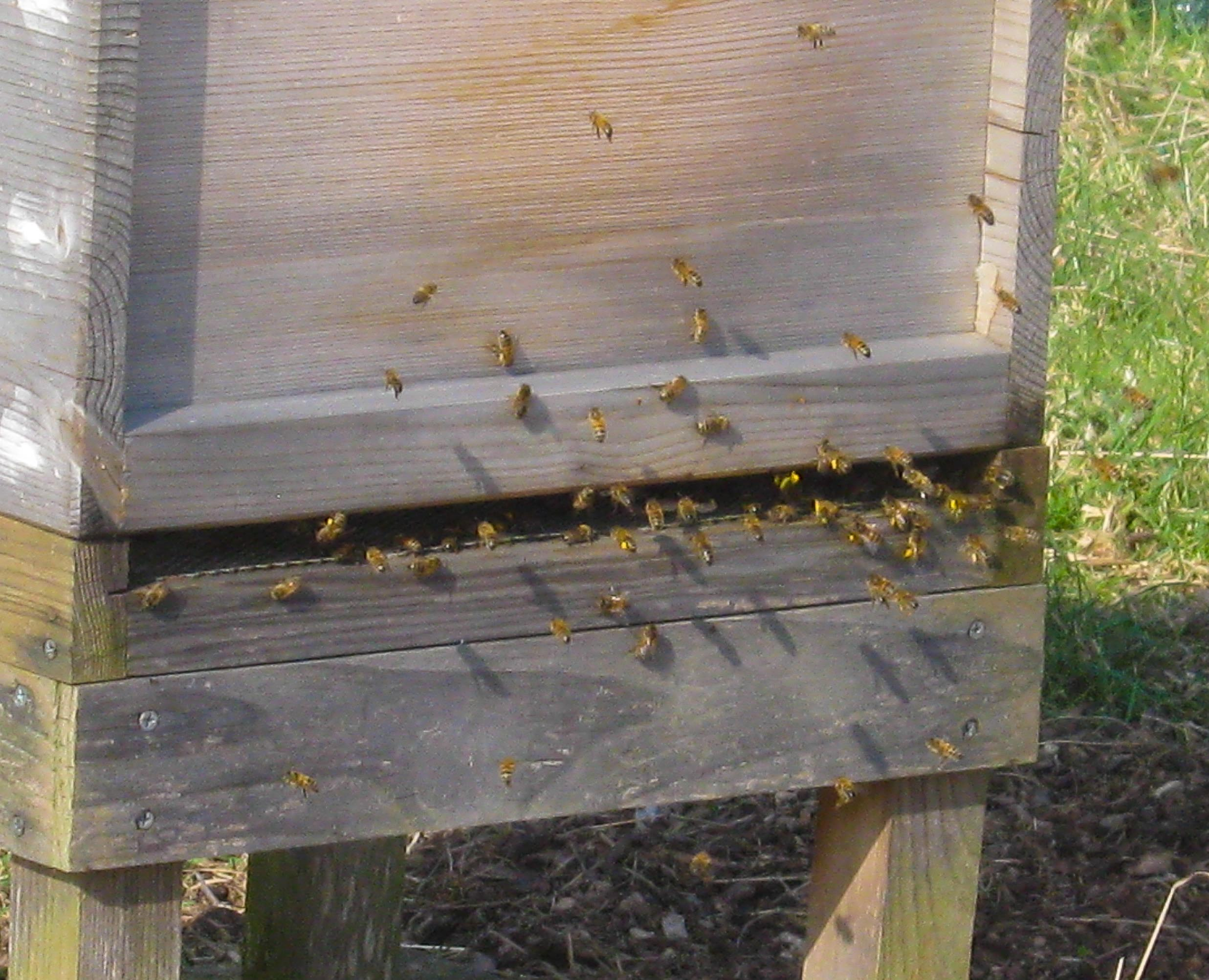 can you see how many have yellow pollen on their legs?