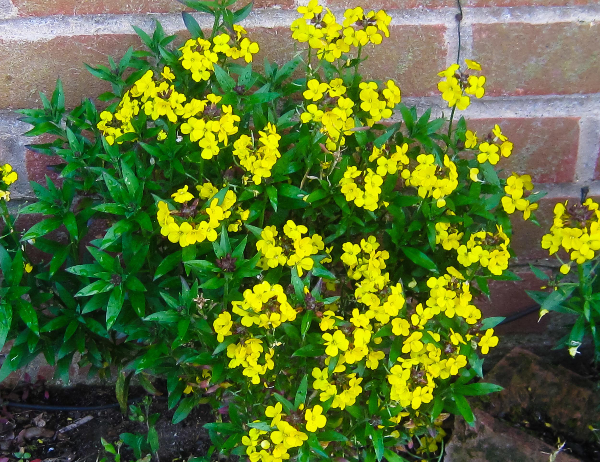 Native wallflower - cheiranthus cheiri self-seeded by my kitchen door
