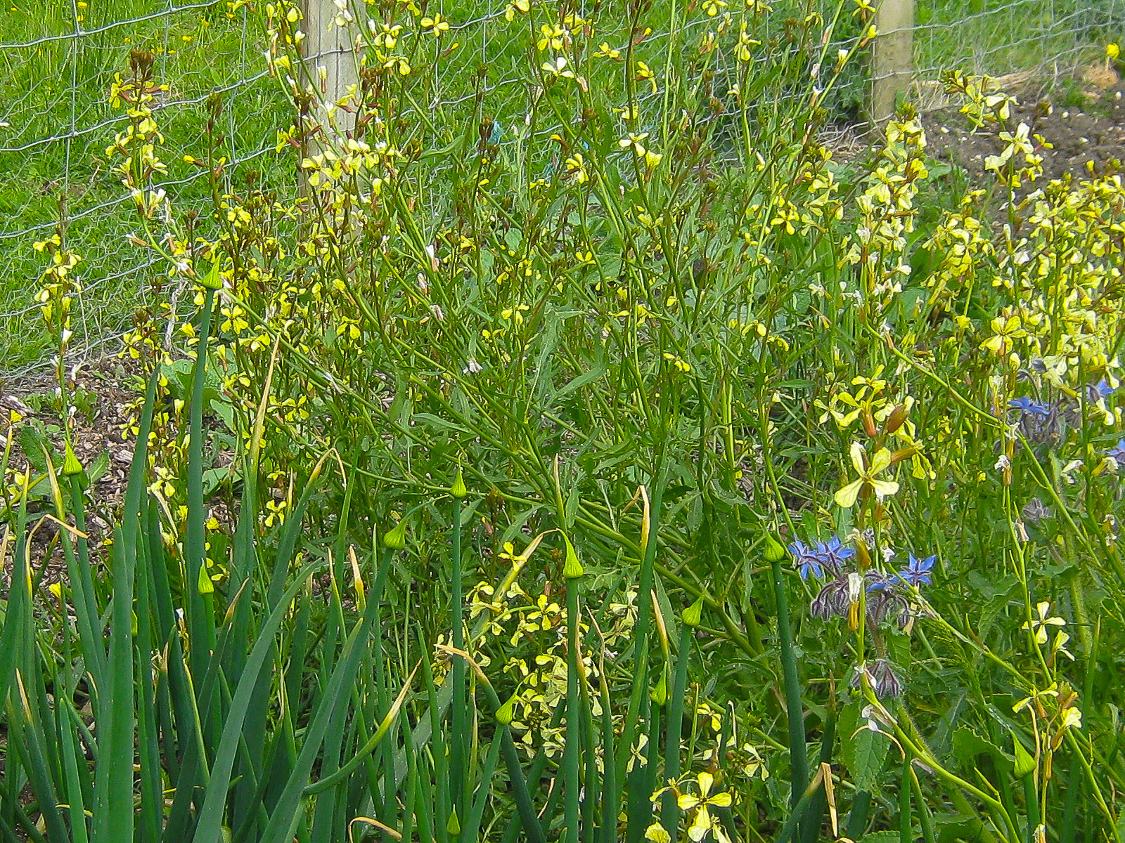 rocket flowering next to the onions in our veg patch