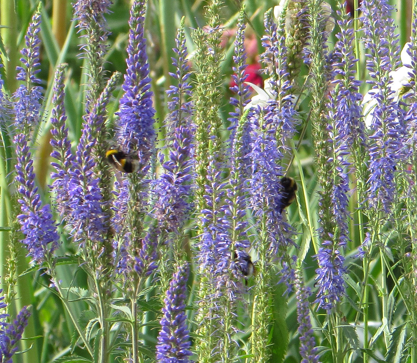 veronica spicata - supporting bees in spite of the dry weather