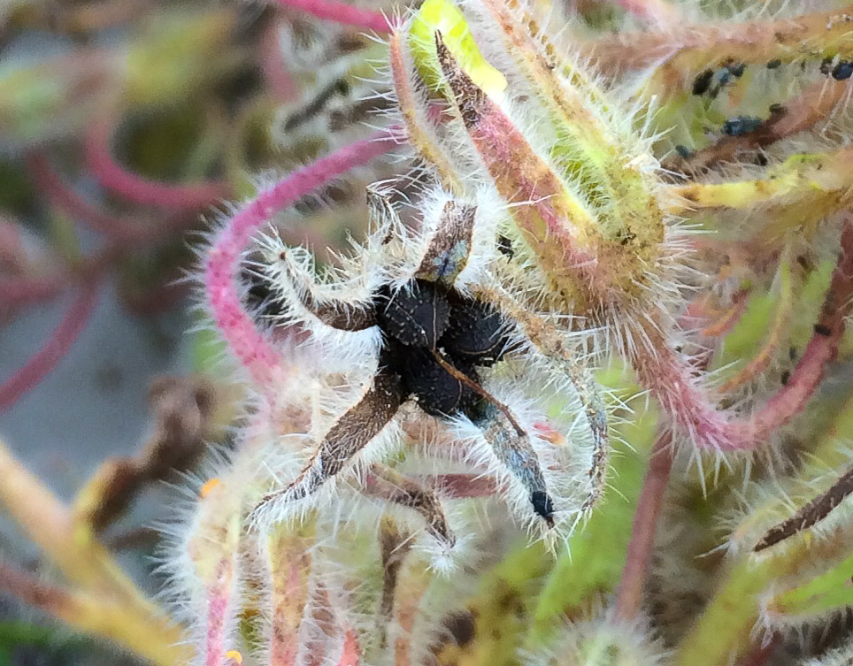 Borage seeds ripening as the stems dry