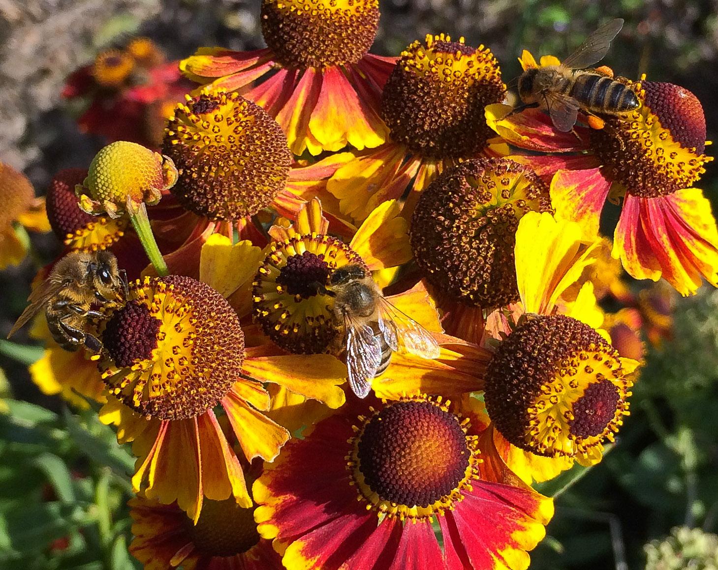 Three honey bees on just one helenium stem