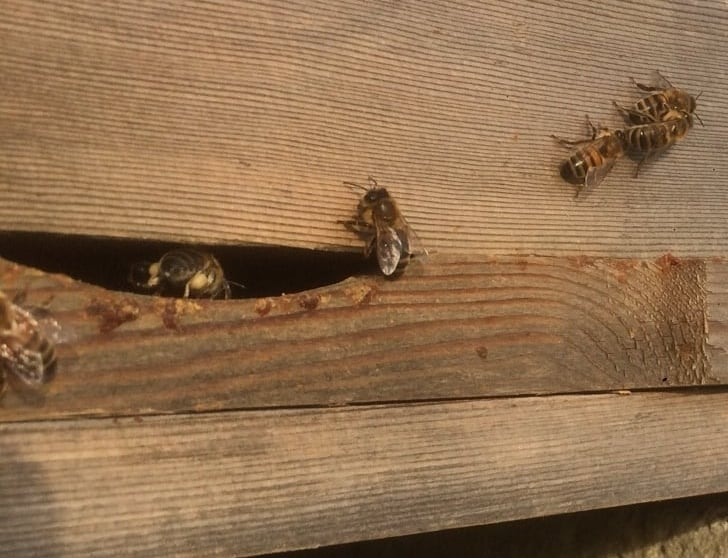 pale buff-coloured pollen on the bee just entering the hive