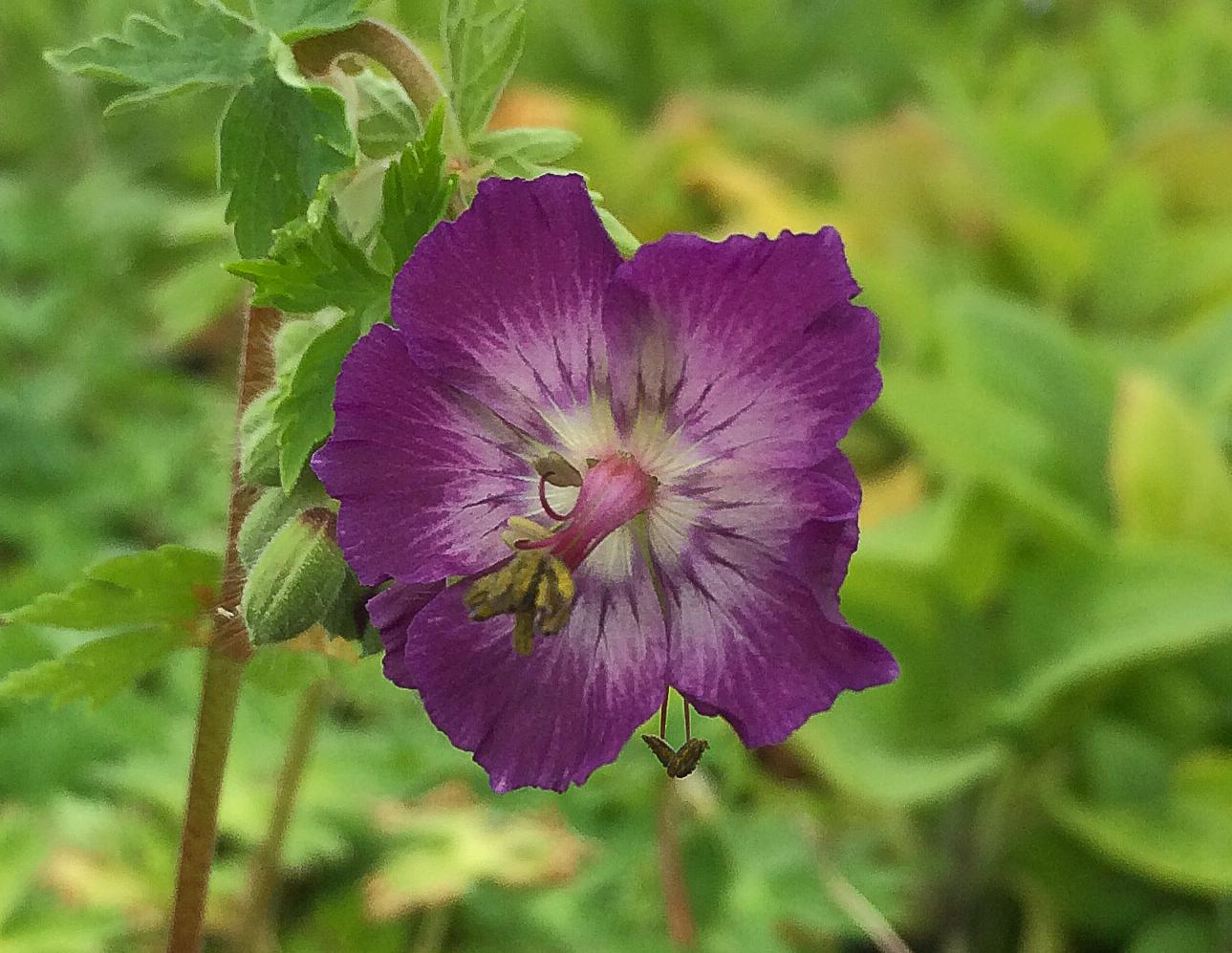 geranium phaeum- rosybee