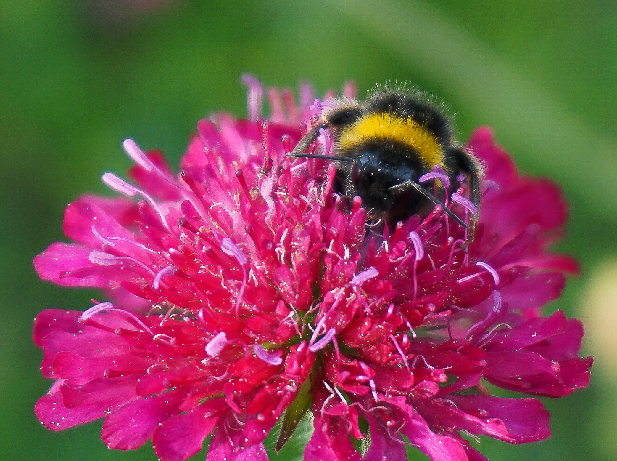 Standard dark red form of knautia macedonica with buff-tail bumblebee - face planted