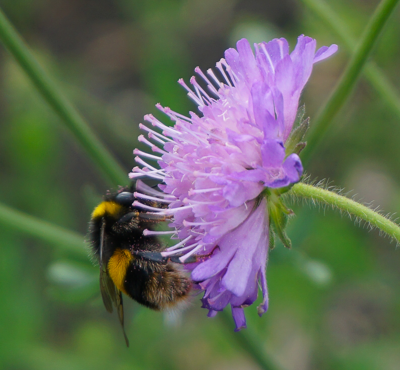 'Early' bumblebee on a lighter form