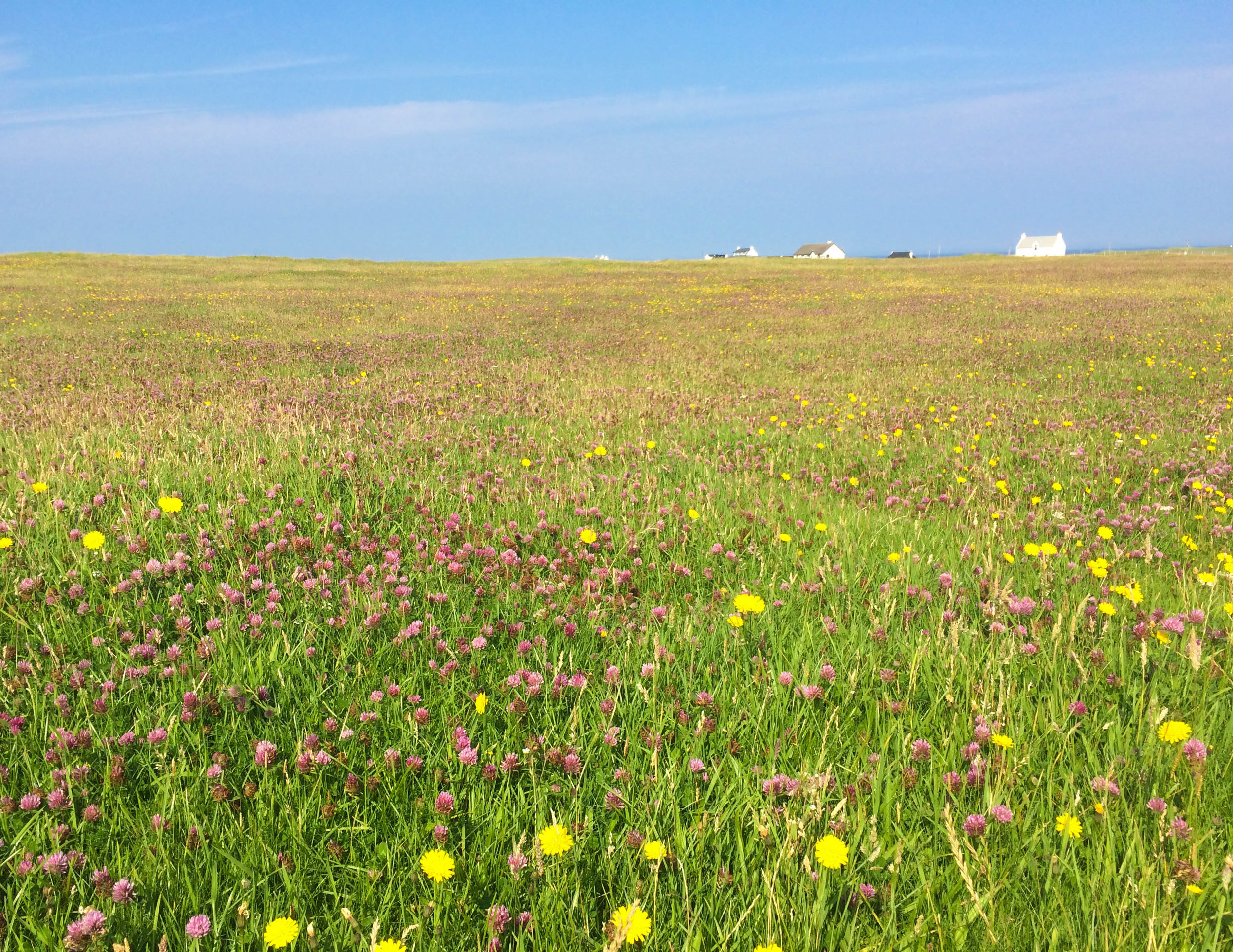 the floral 'machair' on Tiree