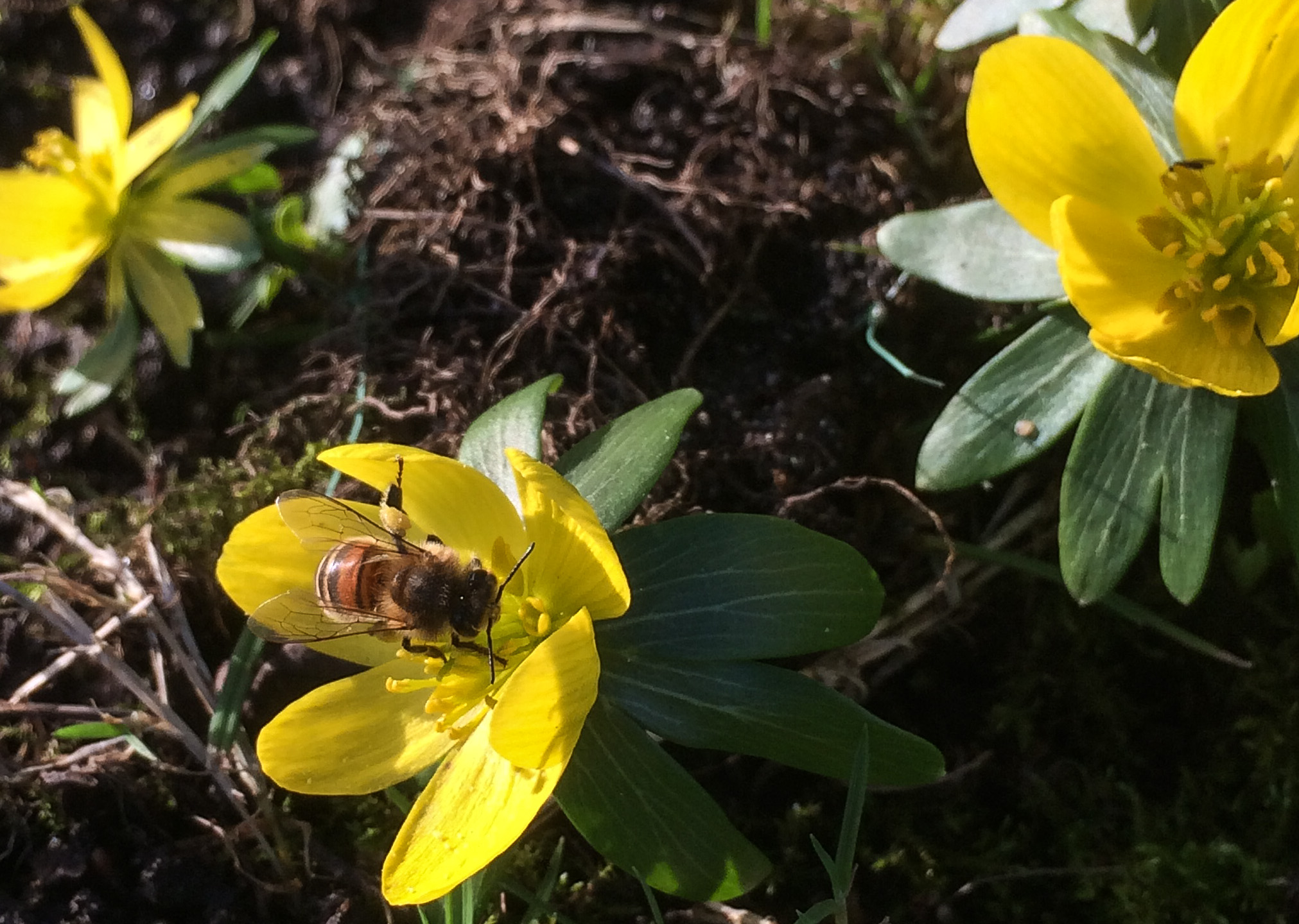 honey bee on winter aconite