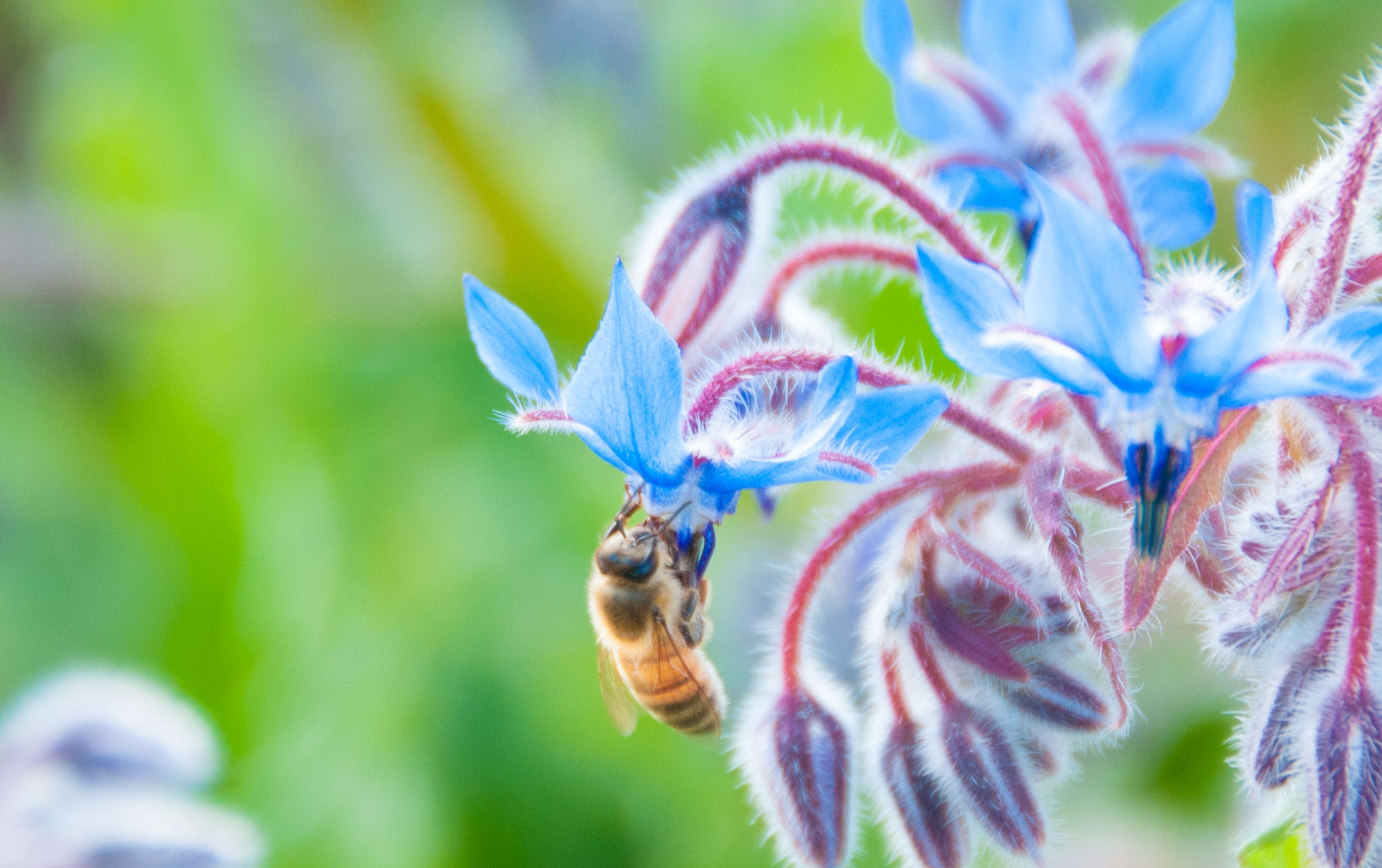 borage honeybee.jpg